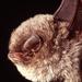 Πτερυγονυχτερίδα - Photo (c) Roberto Sindaco, μερικά δικαιώματα διατηρούνται (CC BY-NC-SA)