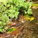 Zygonyx takasago - Photo (c) aru,  זכויות יוצרים חלקיות (CC BY-NC)