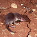 Bicoloured Shrew - Photo (c) Roberto Sindaco, some rights reserved (CC BY-NC-SA)