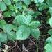 Rubus wheeleri - Photo (c) Tomás Curtis, algunos derechos reservados (CC BY-NC)