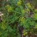 Tauschia kelloggii - Photo (c) randomtruth, algunos derechos reservados (CC BY-NC-SA)