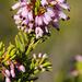 Erica multiflora - Photo (c) Jordi Roy Gabarra, μερικά δικαιώματα διατηρούνται (CC BY-NC)