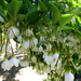 Japanese Snowbell - Photo (c) mwms1916, some rights reserved (CC BY-NC-ND)