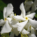 Star Jasmine - Photo (c) .Bambo., some rights reserved (CC BY-NC-SA)