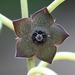 Matelea cyclophylla - Photo (c) David Midgley, algunos derechos reservados (CC BY-NC-ND)