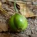 Vangueria lasiantha - Photo (c) JMK, alguns direitos reservados (CC BY-SA)