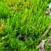 Dicranum flagellare - Photo (c) Rob Routledge,  זכויות יוצרים חלקיות (CC BY-NC)