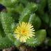 Delosperma echinatum - Photo (c) David Midgley, algunos derechos reservados (CC BY-NC-ND)