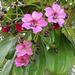 Meriania nobilis - Photo (c) Dick Culbert, alguns direitos reservados (CC BY)
