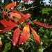 Combretum kraussii - Photo (c) JMK, algunos derechos reservados (CC BY-SA)
