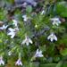 Euphrasia zelandica - Photo (c) Shirley Kerr, μερικά δικαιώματα διατηρούνται (CC BY-NC)