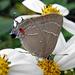 Mariposa Alas de Telaraña M - Photo (c) Sean McCann, algunos derechos reservados (CC BY-NC-SA)