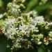 Heptacodium miconioides - Photo (c) Lotus Johnson,  זכויות יוצרים חלקיות (CC BY-NC)