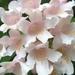 Beauty Bush - Photo (c) beautifulcataya, some rights reserved (CC BY-NC-ND)