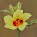 Hibiscus panduriformis - Photo (c) J.M.Garg, algunos derechos reservados (CC BY-SA)