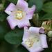 Lagunaria patersonia - Photo (c) Philip Bouchard, algunos derechos reservados (CC BY-NC-ND)