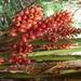 Jengibre de Jardín - Photo (c) Ian Morton, algunos derechos reservados (CC BY-NC-SA)