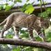 Αγριόγατα Του Geoffroy - Photo (c) Cloudtail the Snow Leopard, μερικά δικαιώματα διατηρούνται (CC BY-NC-ND)