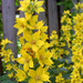 Lysimachia punctata - Photo (c) Per Ola Wiberg, algunos derechos reservados (CC BY)
