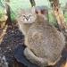 Leopardus colocola pajeros - Photo (c) ZooPro, osa oikeuksista pidätetään (CC BY-SA)