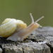 Helicoid Land Snails - Photo (c) Nicolas Zwahlen, some rights reserved (CC BY-NC-SA)