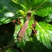 Anisoscelis scutellaris - Photo (c) bima, algunos derechos reservados (CC BY-NC)