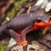 Red-bellied Newt - Photo (c) J. Maughn, some rights reserved (CC BY-NC), uploaded by James Maughn