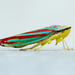 Typical Leafhoppers - Photo (c) mhking, some rights reserved (CC BY-NC)