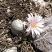 Biznaga Bola de Hilo de Flor Blanca - Photo (c) Edgar Pedro Méndez Vázquez, algunos derechos reservados (CC BY-NC)
