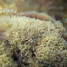 Griffithsia teges - Photo (c) Wayne Martin, algunos derechos reservados (CC BY-NC)