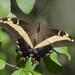 Mariposas Cometa Gigantes - Photo (c) Josh Vandermeulen, algunos derechos reservados (CC BY-NC-ND)