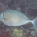 Forktail Rabbitfish - Photo (c) Mark Rosenstein, some rights reserved (CC BY-NC-SA)