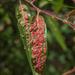 Ácaro de Agalla Roja - Photo (c) Franco Folini, algunos derechos reservados (CC BY)