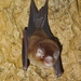 Trinidadian Funnel-eared Bat - Photo (c) Geoffrey Gomes, some rights reserved (CC BY-NC)