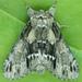 Hyperaeschra georgica - Photo (c) Seabrooke Leckie,  זכויות יוצרים חלקיות (CC BY-NC-ND)