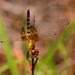 Celithemis amanda - Photo (c) Mary Keim, algunos derechos reservados (CC BY-NC-SA)