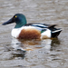 Northern Shoveler - Photo (c) Rick Leche, some rights reserved (CC BY-NC-ND)