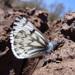 Mariposa Blanca Primaveral - Photo (c) Jerry Oldenettel, algunos derechos reservados (CC BY-NC-SA)