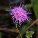 Carphephorus bellidifolius - Photo (c) cotinis, μερικά δικαιώματα διατηρούνται (CC BY-NC-SA)