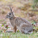 Eastern Cottontail - Photo (c) Pedro Peloso, some rights reserved (CC BY-NC)