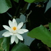 Pygmy Water-Lily - Photo (c) Zack, some rights reserved (CC BY-NC-SA)