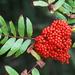 Sorbus americana - Photo (c) jpc.raleigh,  זכויות יוצרים חלקיות (CC BY-NC)