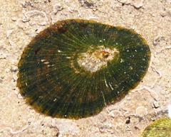 Image of Helcion concolor