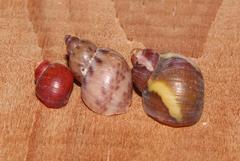 Image of Tricolia kochii