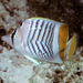 Seychelles Butterflyfish - Photo (c) BernardP, some rights reserved (CC BY-SA)