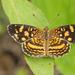 Mariposa Lunita Caribeña - Photo (c) djhiker, algunos derechos reservados (CC BY-NC)