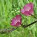 Sidalcea glaucescens - Photo (c) randomtruth,  זכויות יוצרים חלקיות (CC BY-NC-SA)