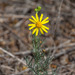 Threadleaf Groundsel - Photo (c) Brent Franklin, some rights reserved (CC BY-NC)