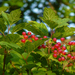 Guelder-Rose - Photo (c) Rob Curtis, some rights reserved (CC BY-NC-SA)