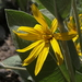Woolly Mule's Ears - Photo (c) Jim Morefield, some rights reserved (CC BY)